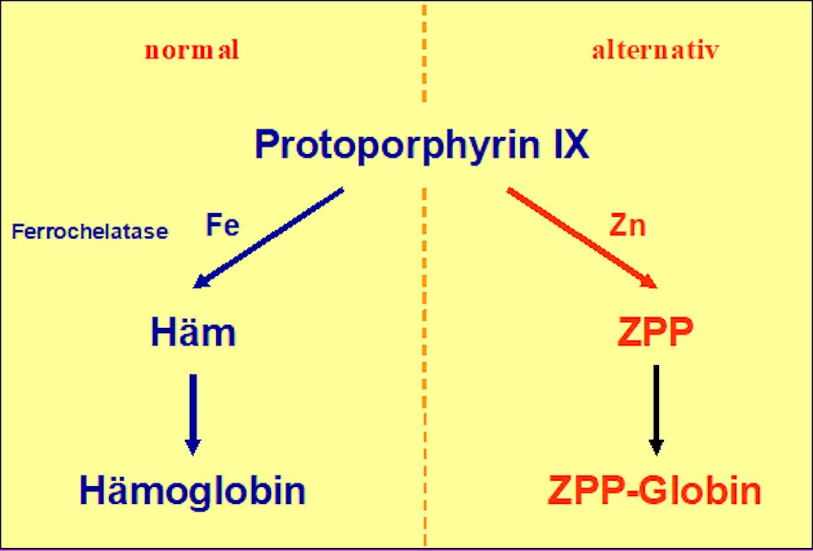 Entstehung von ZPP bei eisendefizitärer Erythropoese